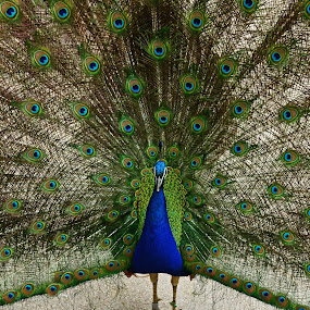 Peacock Plumage by Justin Giffin - Animals Birds ( animals, zoo, plumage, feathers, birds, peacock,  )