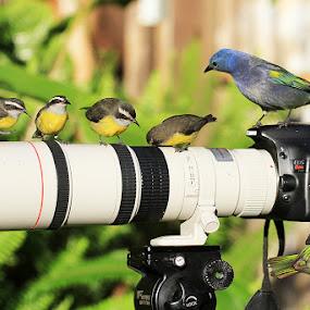 The   perch! by Itamar Campos - Animals Birds ( bird, tangara seledon, tangara ornata, coereba flaveola, birds, perch )