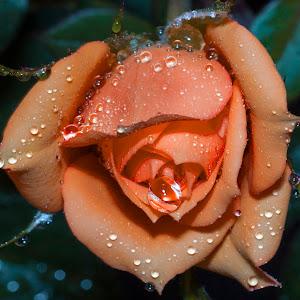 rose other.jpg