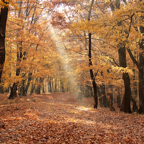forest light by Cosmin Popa-Gorjanu - Landscapes Forests ( autumn, trees, beam, brown, forest, yellow, leaves )