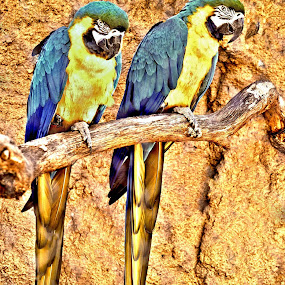 Macaws by Kristen O'Brian - Animals Birds ( stick, blue, tropical, bird tree, yellow, macaw )