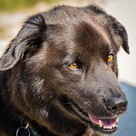 Husky and Blue Heeler Mix by Dave Lipchen - Animals - Dogs Portraits ( husky, blue heeler, mix )