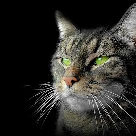 by Laroy Rony - Animals - Cats Portraits