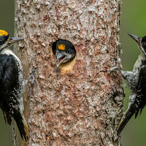 Black Backed Woodpeckers by Tom Samuelson - Animals Birds