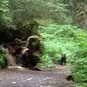 Kodiak grizzly