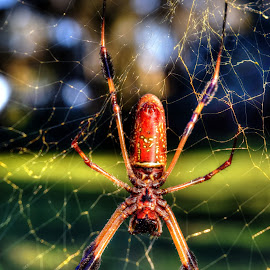 The Stretch by Mark Ayers-Stebenne - Nature Up Close Webs ( orange, arcadia, florida, web, spider,  )