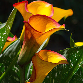 A Gaggle of Calla Lilies by Ed Stines - Flowers Flower Gardens ( plant, orange, nature close up, beauty, yellow, calla lily, natural beauty, red, lily, nature, calla, flowers, garden, natural, flower,  )