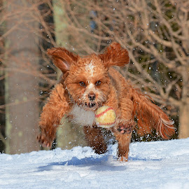 Any MLB teams need a shortstop?  by Steven Liffmann - Animals - Dogs Playing ( lenny, baseball, snow, action, puppy, cavapoo, dog, running )