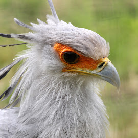 Secretary Bird by Ralph Harvey - Animals Birds ( bird, secretary bird, wildlife, ralph harvey, marwell zoo, animal )