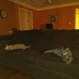 Cool cats by Tracy Raines - Animals - Cats Portraits ( cats, animals, chilling, pets, house )