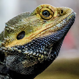 Staring by Mandy Hedley - Animals Reptiles ( lizard, staring, scales, reptile, skin )