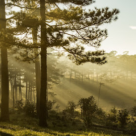 Morning in the wood by Duc Truc Nguyen - Uncategorized All Uncategorized ( ray, forest, sunrise, pine, light, golden, sun )