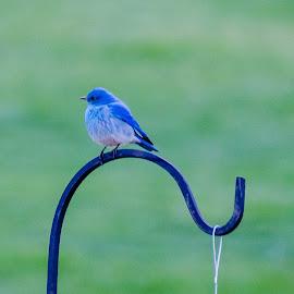 by Steve Wieseler - Digital Art Animals ( blue bird )