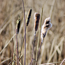 cattails  by Todd Reynolds - Nature Up Close Leaves & Grasses