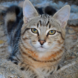 Trusting Eyes by Tamara Luevano Britt - Animals - Cats Kittens ( content, cat, kitten, peacful, ears, eyes )