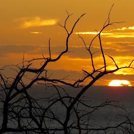 Reaching for the Light by Randi Hodson - Landscapes Sunsets & Sunrises ( tree, sunset, hawaii,  )