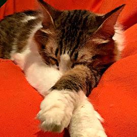 Do not disturb! by Jo-Ann Tan - Animals - Cats Portraits