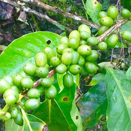 Coffee Costa Rico  by Charlie Marcus - Nature Up Close Gardens & Produce ( costa rico )