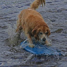 by Lyle Gallup - Animals - Dogs Playing ( water, playing, fun, dog, golden retriever )