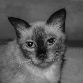Ragdoll by Deva Vinoth - Animals - Cats Portraits
