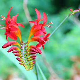 Red Crocosimia by Dipali S - Flowers Single Flower ( fragrance, iridaceae, aroma, park, flora, colors, crocosmiiflora, beautiful, plants, bloom, leaves, close up, blossom, red, crocosmia, nature, outdoor, lucifer, colored, bud, natural, garden, flower, guentermanaus )