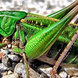Hopper by Radivoje Mijacic - Novices Only Macro ( macro photography, green, ixus, rocks, grasshopper )