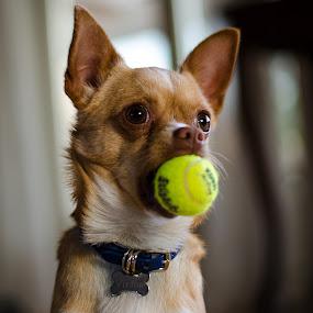 Ready ! by Kim  Schou - Animals - Dogs Portraits ( kim schou, viktor, dog, chi-hua-hua )