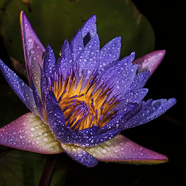 Water lily by David Winchester - Flowers Single Flower