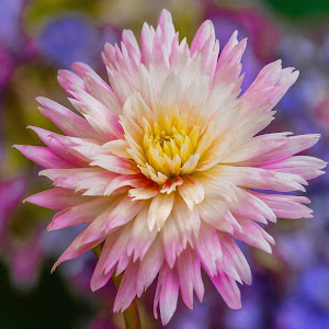 White & Pink Dahlia 8-5 #1  FINAL .jpg