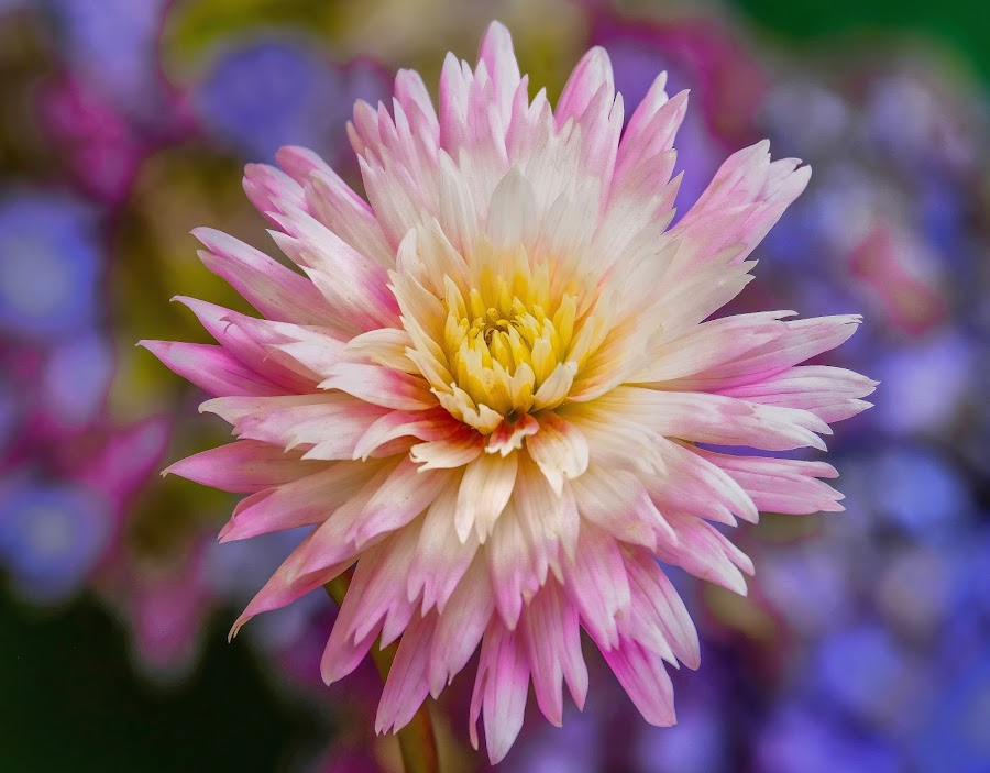White with pink dahlia by Jim Downey - Flowers Single Flower ( pink, blue, white, dahlia, yellow )