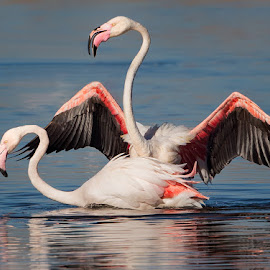 Flamingos mating by Francois Retief - Animals Birds