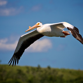American Pelican by Dustin Wawryk - Animals Birds