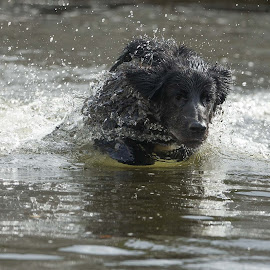 I love water! - 1 by Ole Walter Sundlo - Animals - Dogs Playing ( water, dogs swimming, dogs, dogs playing )