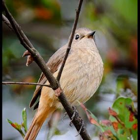 Redstart by Terence Lim - Animals Birds ( bird, perched, stare, red-start, perch, redstart )