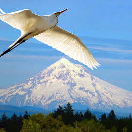 Mt. Hood and Heron by Julia Van Klinken Myers - Animals Birds ( bird, mountains, volcano, mountain, mt, snow, herons, snowy volcano, heron, bird in flight )