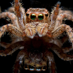 jumping spider by Jun Santos - Animals Insects & Spiders