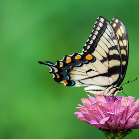 :: untitled :: by Antonio Winston - Novices Only Wildlife ( butterfly, butterflies, summer, pollenating, insects, insect, flowers,  )