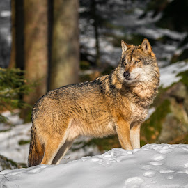 Wolf by Andrej Kozelj - Animals Other Mammals ( wild, winter, nature, wolf, snow, wildlife, wolves, natural )