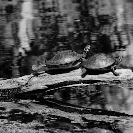 Lounging by Zeralda La Grange - Animals Reptiles ( #nature, #turtles, #animals, #blackandwhite )