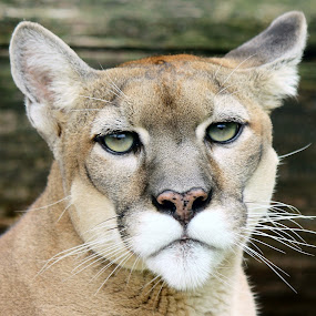 Cougar Portrait by Maureen Figueira - Novices Only Wildlife