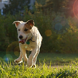 Fox on the Run by Jiri Cetkovsky - Animals - Dogs Running ( parson, sunset, fanda, terrier, game, run, russell )