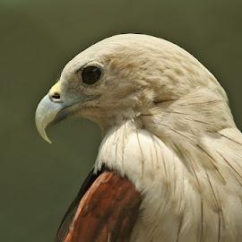 brahmini kite by Mukesh Chand Garg - Animals Birds