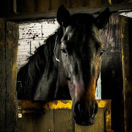 by Jasminka  Tomasevic - Animals Horses