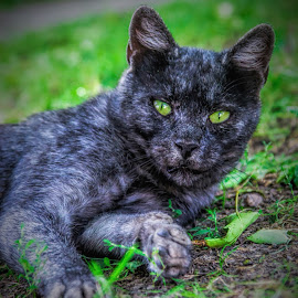 My neighbour :) by Nenana :) - Animals Other ( cats, cat, green eyes, black, animal )