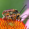 Banded Longhorn Beetles