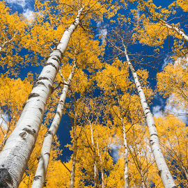 Aspen high by Scott Fishman - Landscapes Forests ( mountains, ridgeway, durango, doug busby, ouray, colorado, trees, aspens, maroon bells, silverton, milky way, aspen )