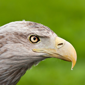 Sea Eagle by Kenneth Pettersen - Animals Birds