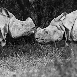 Friends by Pravine Chester - Black & White Animals ( monochrome, black and white, animals, rhinos, wildlife )
