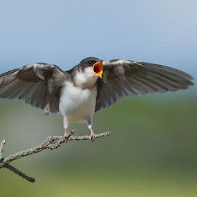 I'm hungry! by Mircea Costina - Animals Birds ( bird, wildlife, swalow, birds )