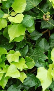 Hedera Wallpapers - screenshot